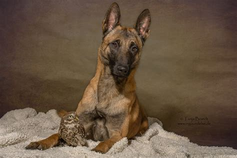 P Ographer Captures Sweet Relationship Between A German Shepherd And Owl This Dogs Life