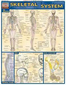 Skeletal System Quick Study Reference Guide By Barcharts