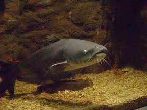 cat fish file blue catfish jpg