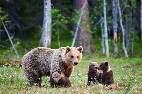 yellowstone grizzlies delisted sierra club