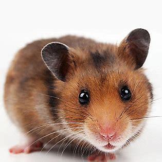 Hamsters: Dwarf & Syrian Hamster Care | PetSmart