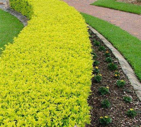 bright bush for landscaping cuban gold duranta bright yellow green color this evergreen shrub is a moderate grower grows