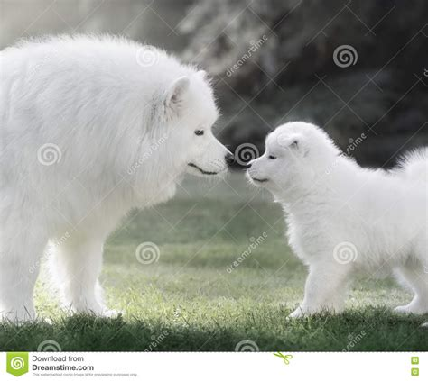 Samoyed Dog With Puppy Backlighting Stock Photo Image