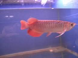 buy arowana fish  sunny kim farm bangkok thailand