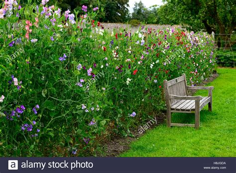 growing climbers for fences lathyrus sweet peas pea grow growing up fence fencing plant supports stock photo royalty free