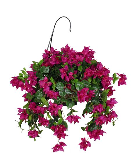 hanging flowers bougainvillea hanging plant in basket yard pinterest hanging plant bougainvillea and plants