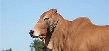 Seeing Red: American Red Brahman Cattle For Sale - Moreno ...