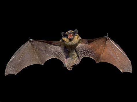 The Meaning And Symbolism Of The Word Bat Animal