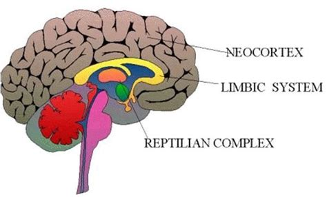 3 Sections Of The Brain by The Triune Brain Is A Theory That Discusses The 3 Parts Of