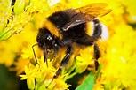 Lymm Bumble Bee Control