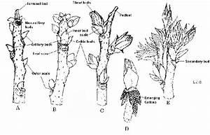 Figure 1  Bud Growth Of Pecan  Showing Developmentof