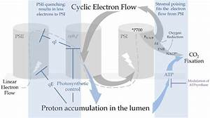 Cyclic Electron Flow Promotes Proton Accumulation In The