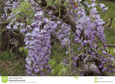 purple flowers that grow on vines vine purple flowers pictures