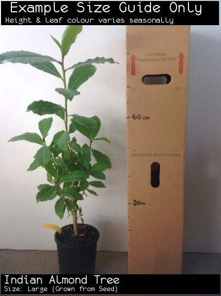 indian almond tree terminalia catappa