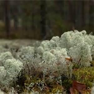 Arctic Hare & Caribou Moss - tundra