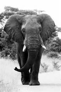 Elephant Black and White Bull