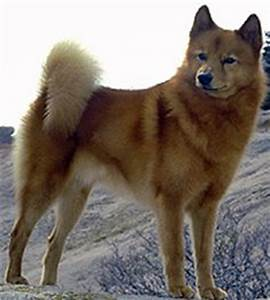 Dog Breed That Looks Like A Fox