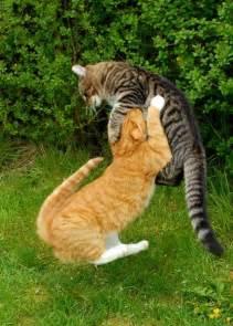 fighting cat cat fight