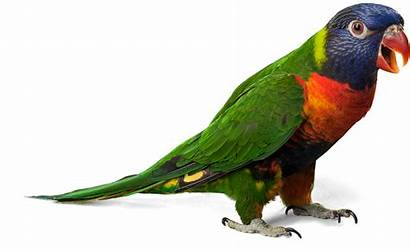 Burung Suara Ekogeo Parrot Bulu Warna Manusia