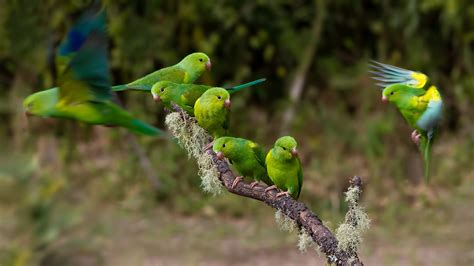 parrot hd wallpaper background image  id