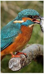 Kingfisher HD Wallpaper | Background Image | 1920x1200 ...