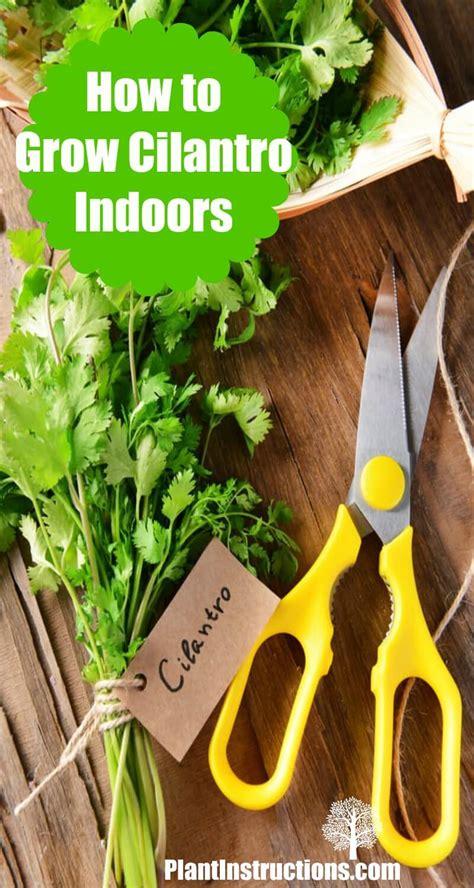 How To Grow Cilantro Indoors  Plant Instructions