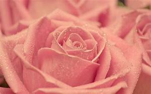 vintage-cat-pink-rose-micro-photography | We Heart It ...
