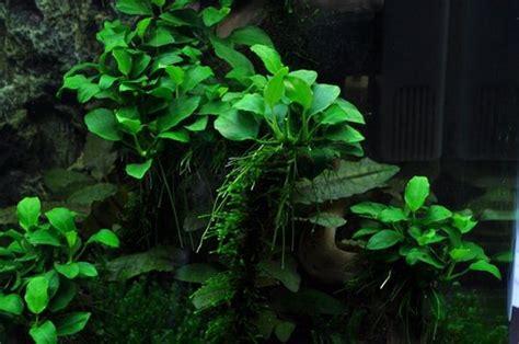 jenis tanaman aquascape  mudah dipelihara