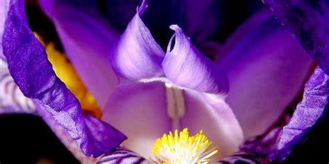 fiore iris foto il fiore iris