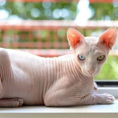 Learn About The Sphynx Cat Breed From A Trusted Veterinarian