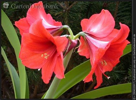 amaryllis zum blühen bringen amaryllis 252 berwintern und wieder zum bl 252 hen bringen
