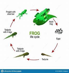 Froglet Stock Illustrations  U2013 61 Froglet Stock