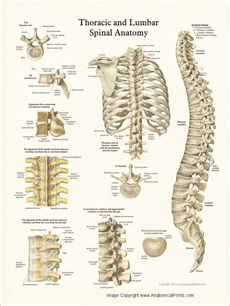 thoracic spine extends    neck   base