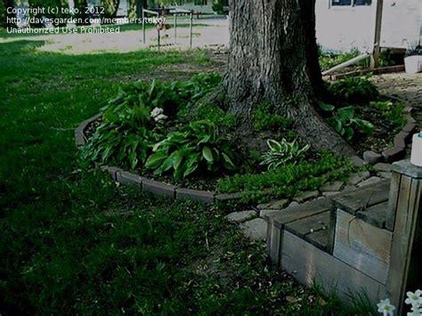 beginner gardening pine tree roots 1 by teko