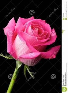 hoontoidly: Single Hot Pink Rose Images