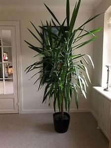 Yucca Palme Winterhart : palme yucca palme k b og salg af nyt og brugt ~ A.2002-acura-tl-radio.info Haus und Dekorationen