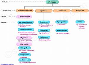 Phylum Protozoa: General characters and Classification ...  Phylum