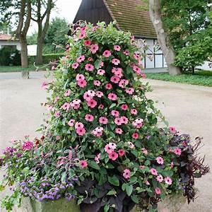 Kübelpflanzen Winterhart Schattig : rosa susanne rose sensation von g rtner p tschke ~ Michelbontemps.com Haus und Dekorationen