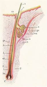 The hair follicle anatomy