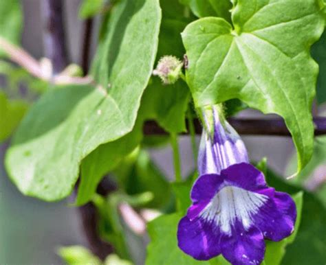 9 Best Annual Flowering Vines For Your Garden Gardenoholic