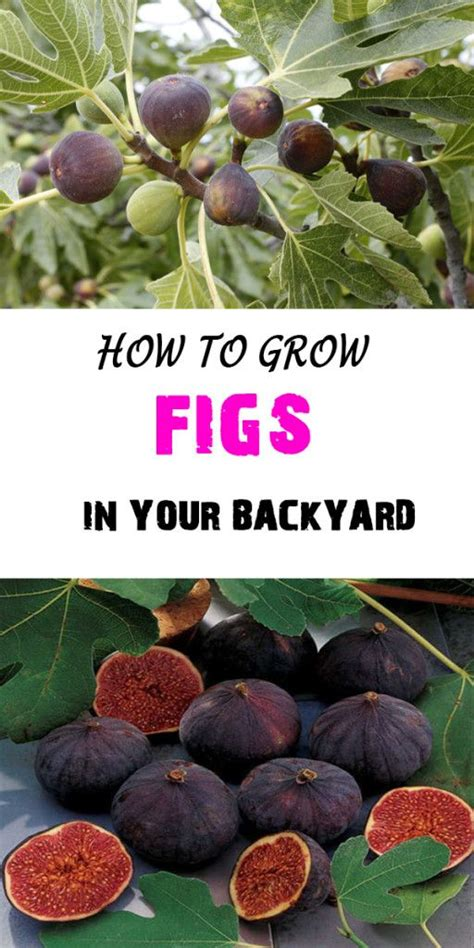 best 20 fig tree ideas on indoor trees indoor tree plants and best indoor trees