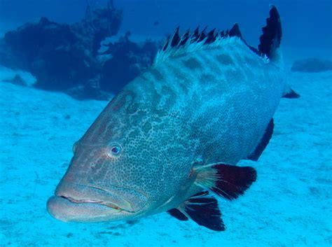 bahamas eleuthera grouper reefs location reefguide caribbean bonaci mycteroperca groupers tropical