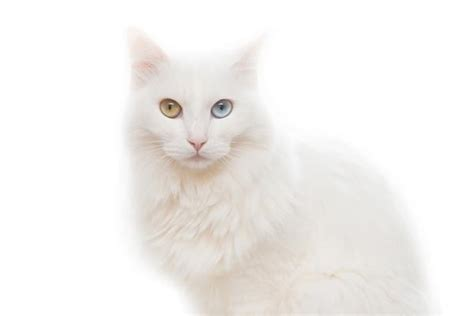 Fall In Love With The Beautiful Turkish Angora Cat