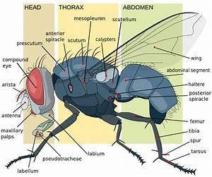 File Housefly Anatomy-key-en Svg