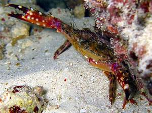 Blackpoint Sculling Crab - Cronious Ruber - True Crabs -