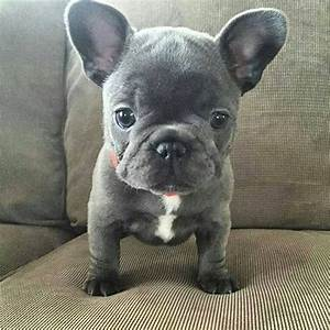 Blue French Bulldog Puppy | bulldogs | Pinterest | Blue ...