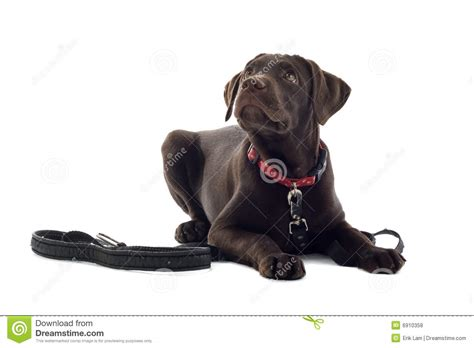 German Shorthaired Pointer Vs Lab Shedding by German Shorthaired Pointer Vs Labrador Retriever