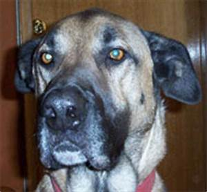 Great Dane German Shepherd mixed breed dog - online dog ...