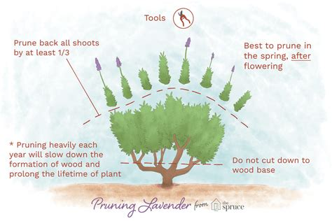 Small Kitchen Reno Ideas - how to prune lavender to promote flowering and long life