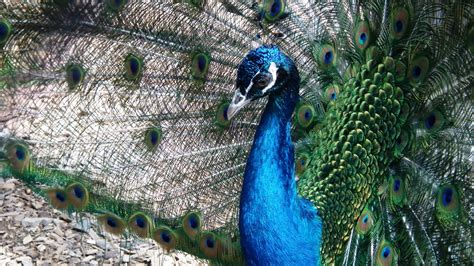 4K Peacock Wallpapers High Quality | Download Free